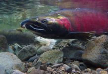 Atlantic salmon identified