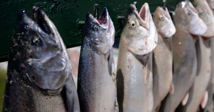 Solving the health problems of sterile salmon